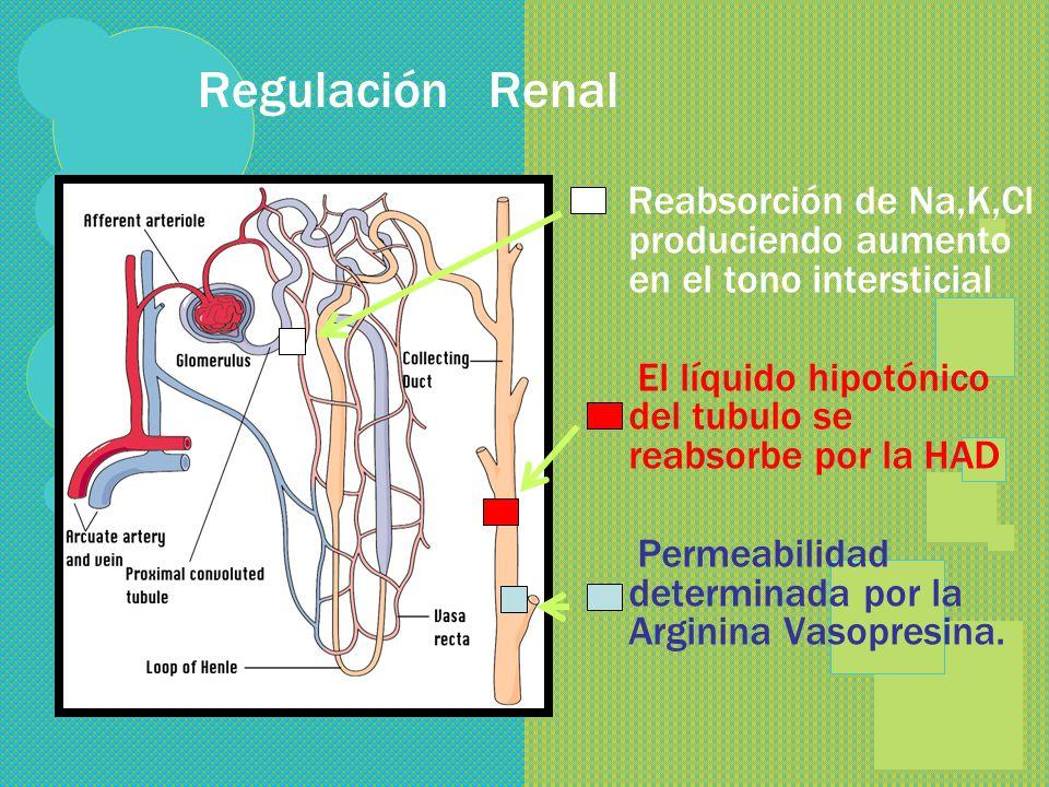 REGULACION RENAL GLOMÉRULO= ULTRAFILTRADO TUBULO PROXIMAL= REABSORCIÓN T. PROXIMAL RECTO= RECIBE H+ ASA DE HENLE = REABSORCIÓN DE SOLUTOS + AGUA T. AS