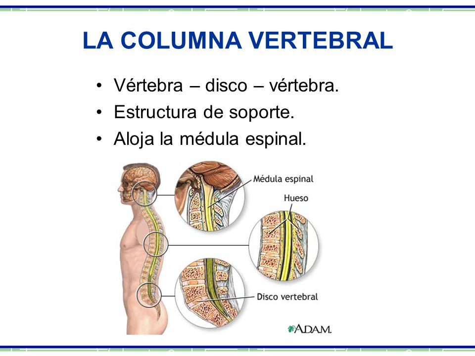 LA COLUMNA VERTEBRAL Vértebra – disco – vértebra. Estructura de soporte. Aloja la médula espinal.