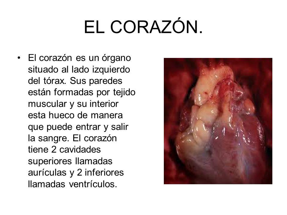 EL CORAZÓN. El corazón es un órgano situado al lado izquierdo del tórax. Sus paredes están formadas por tejido muscular y su interior esta hueco de ma