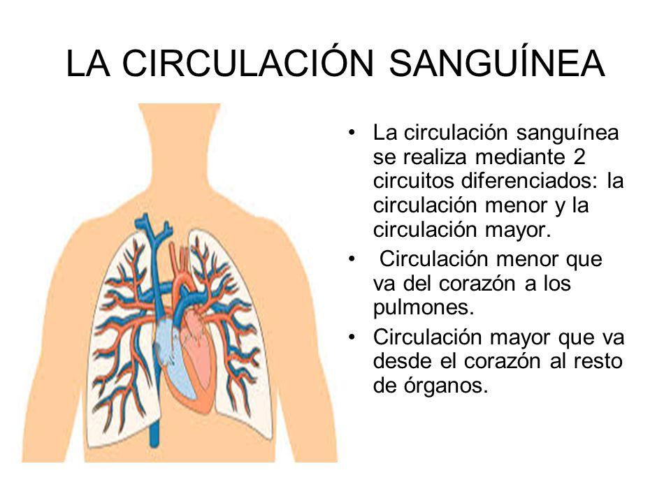 LA CIRCULACIÓN SANGUÍNEA La circulación sanguínea se realiza mediante 2 circuitos diferenciados: la circulación menor y la circulación mayor. Circulac