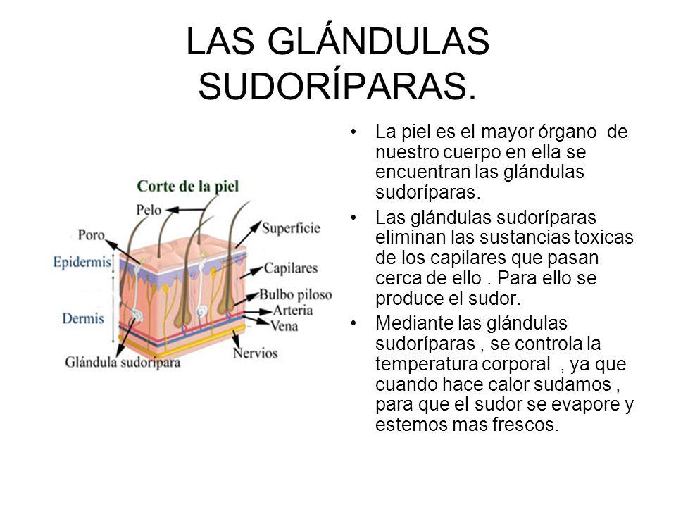 LAS GLÁNDULAS SUDORÍPARAS. La piel es el mayor órgano de nuestro cuerpo en ella se encuentran las glándulas sudoríparas. Las glándulas sudoríparas eli