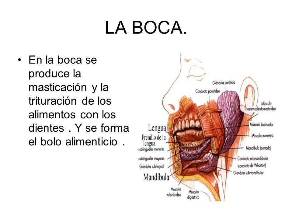 LA BOCA. En la boca se produce la masticación y la trituración de los alimentos con los dientes. Y se forma el bolo alimenticio.