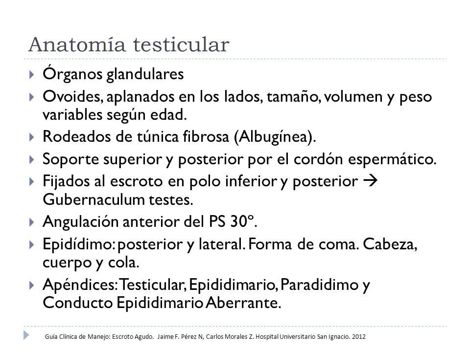 Anatomía testicular  Órganos glandulares  Ovoides, aplanados en los lados, tamaño, volumen y peso variables según edad.  Rodeados de túnica fibrosa