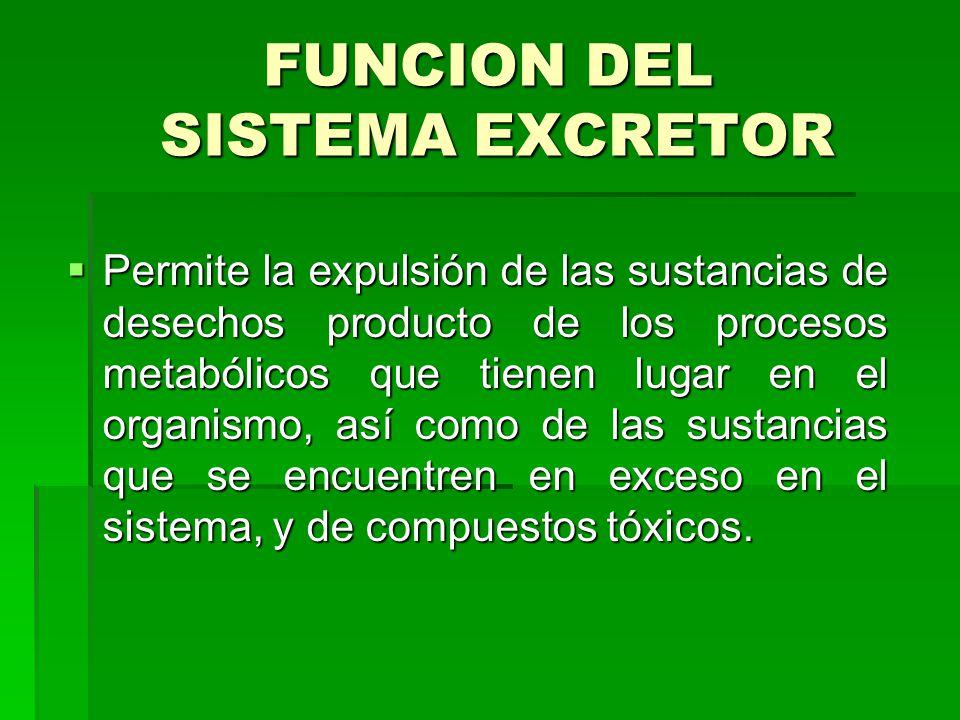 FUNCION DEL SISTEMA EXCRETOR  Permite la expulsión de las sustancias de desechos producto de los procesos metabólicos que tienen lugar en el organismo, así como de las sustancias que se encuentren en exceso en el sistema, y de compuestos tóxicos.