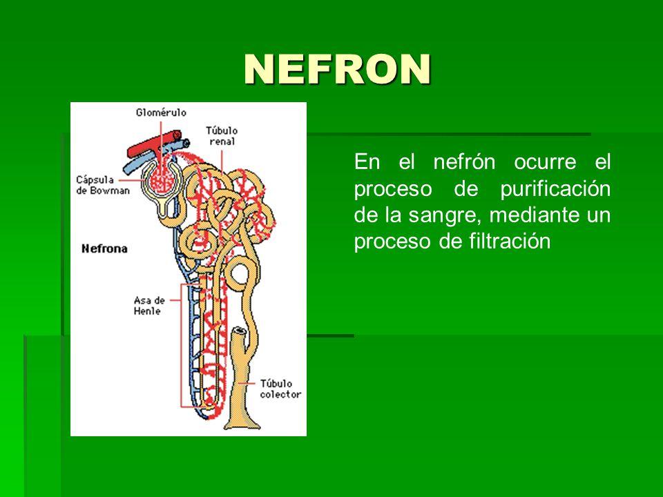 NEFRON En el nefrón ocurre el proceso de purificación de la sangre, mediante un proceso de filtración