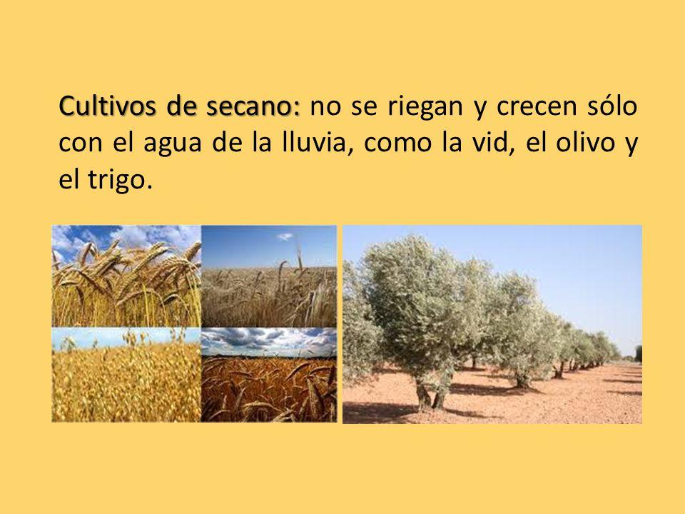 Cultivos de secano: Cultivos de secano: no se riegan y crecen sólo con el agua de la lluvia, como la vid, el olivo y el trigo.