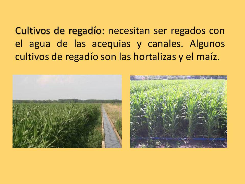 Cultivos de regadío: Cultivos de regadío: necesitan ser regados con el agua de las acequias y canales.