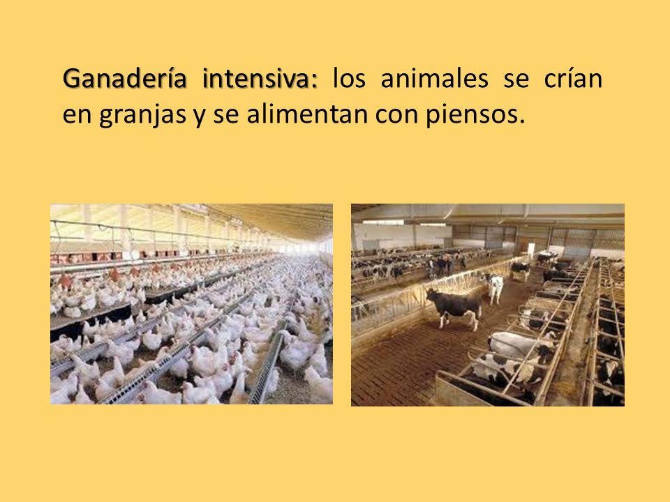 Ganadería intensiva: Ganadería intensiva: los animales se crían en granjas y se alimentan con piensos.