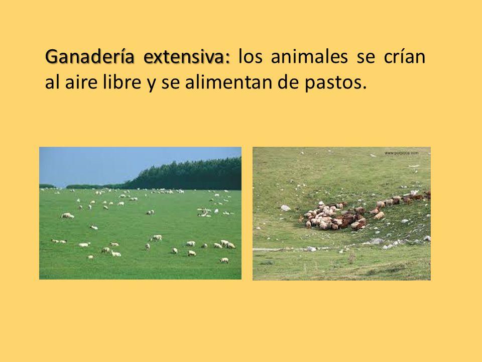 Ganadería extensiva: Ganadería extensiva: los animales se crían al aire libre y se alimentan de pastos.