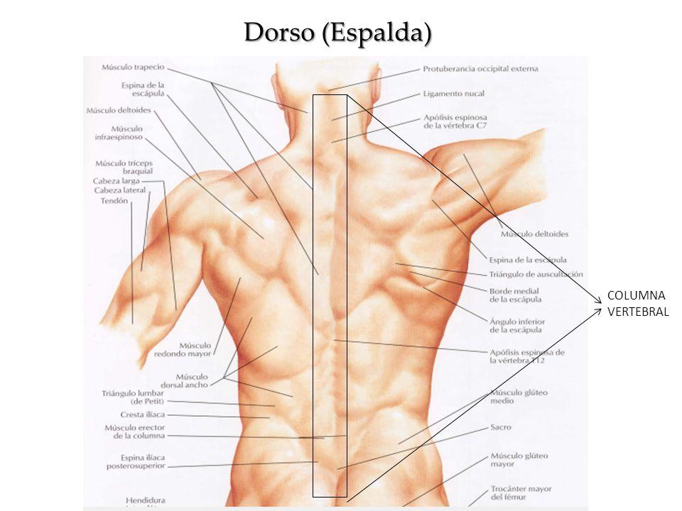 Hermosa Anatomía De Espalda Media Bandera - Anatomía de Las ...