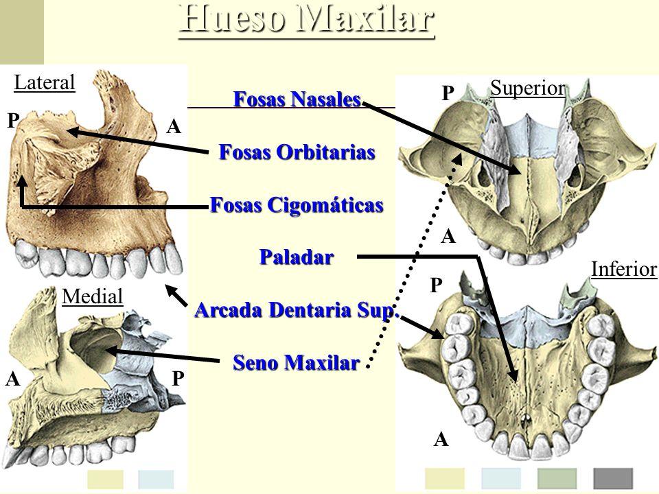 Excepcional Arcada Anatomía Golpe Un Hueso Motivo - Anatomía de Las ...