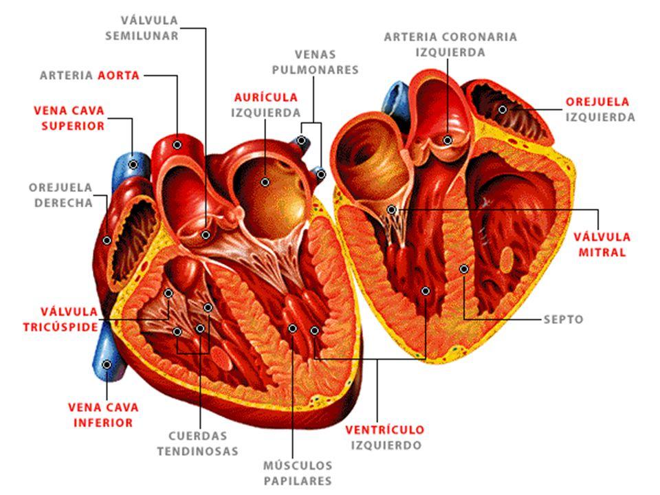 Perfecto Partes Del Corazón Etiquetados Colección - Anatomía de Las ...