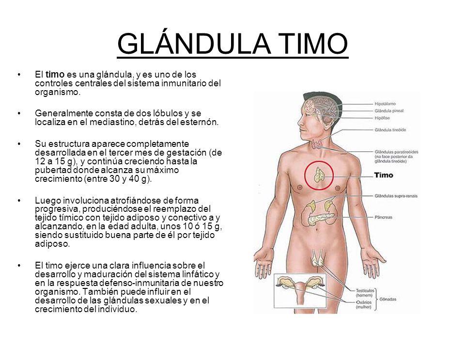 Hermosa Definir Glándula Del Timo Ideas - Anatomía de Las ...