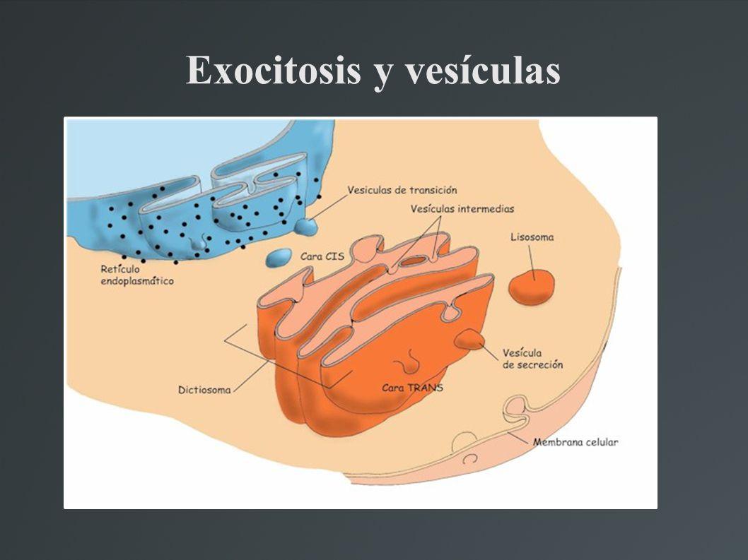Exocitosis y vesículas