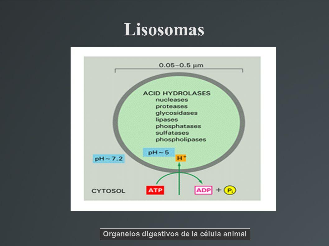 Lisosomas Organelos digestivos de la célula animal