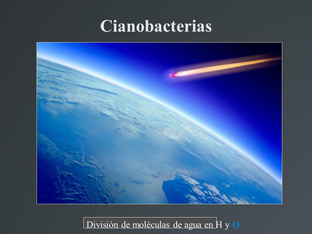 Cianobacterias División de moléculas de agua en H y O 2