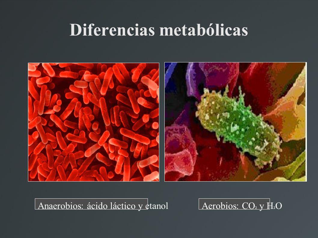 Diferencias metabólicas Anaerobios: ácido láctico y etanolAerobios: CO 2 y H 2 O