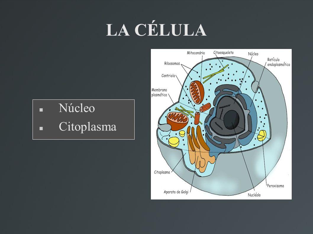 LA CÉLULA Núcleo Citoplasma
