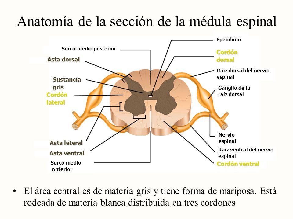 Biología : NEUROANATOMÍA