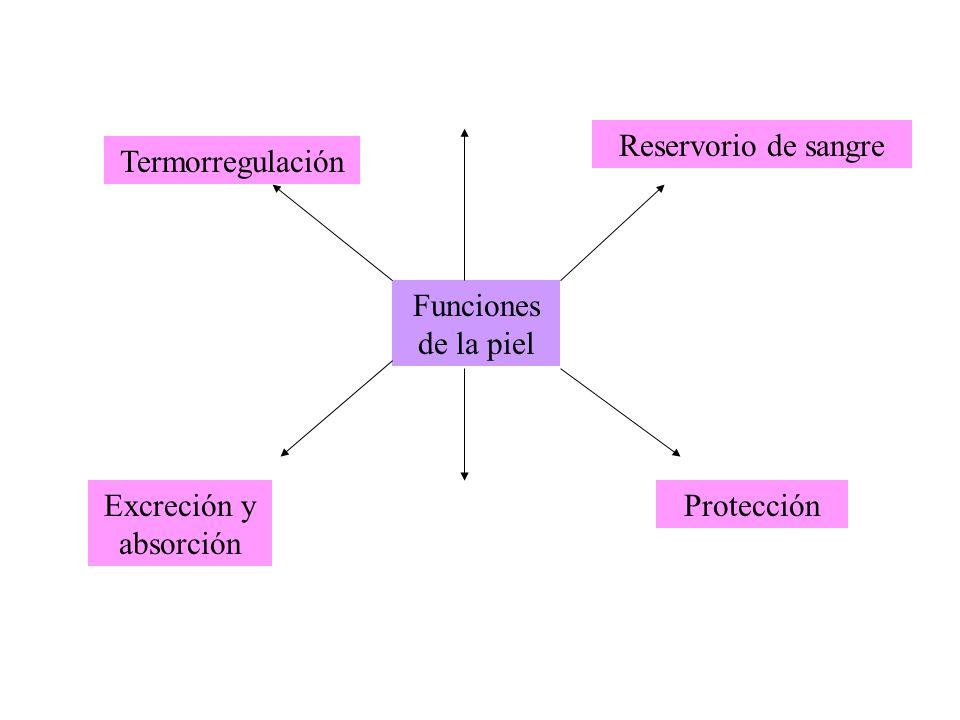 Funciones de la piel Termorregulación Reservorio de sangre ProtecciónExcreción y absorción