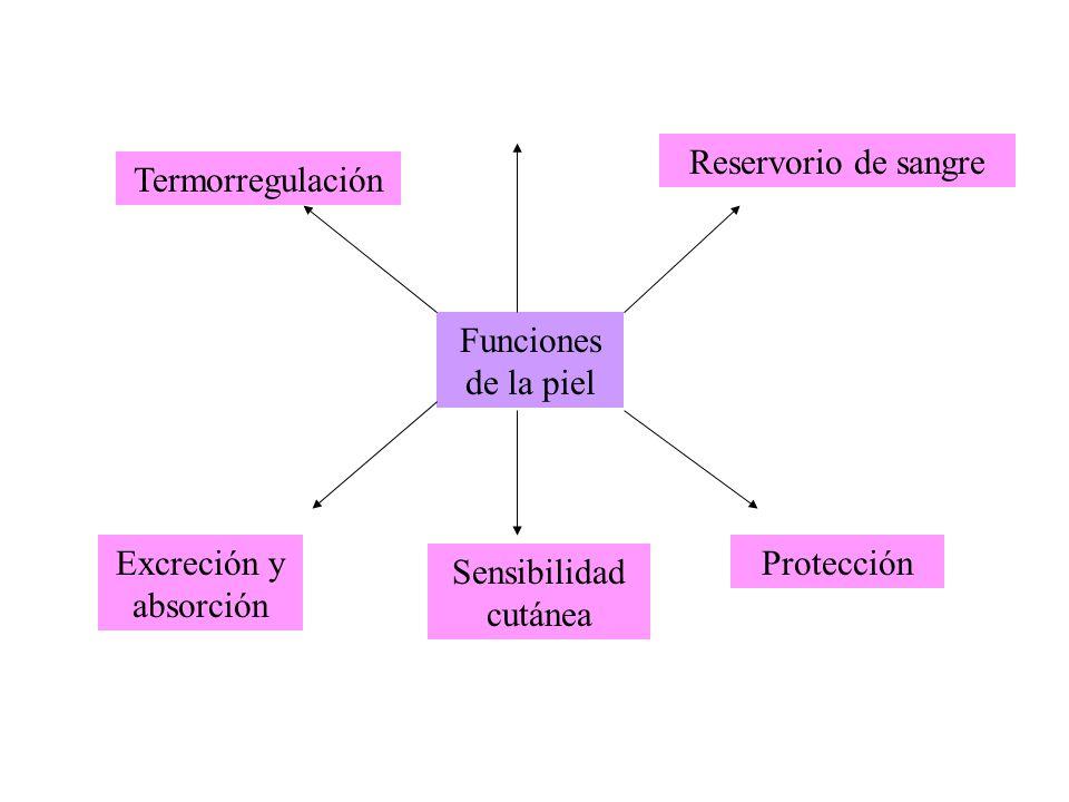 Funciones de la piel Termorregulación Reservorio de sangre Protección Sensibilidad cutánea Excreción y absorción