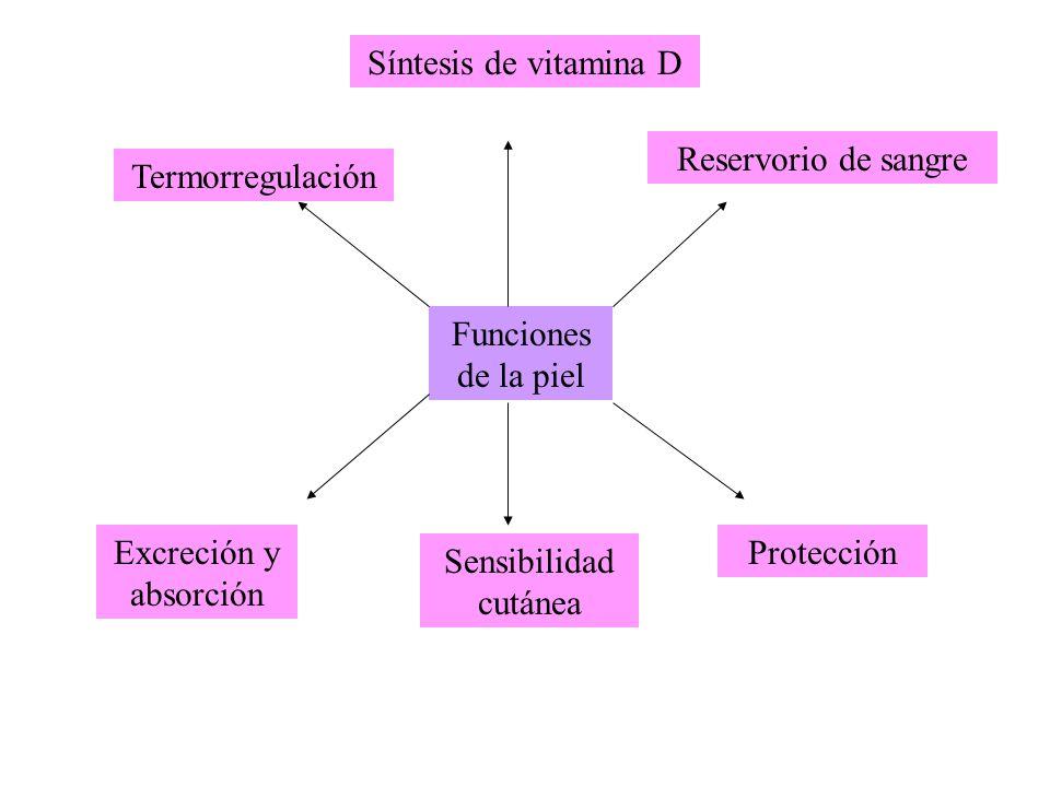 Funciones de la piel Termorregulación Reservorio de sangre Protección Sensibilidad cutánea Excreción y absorción Síntesis de vitamina D