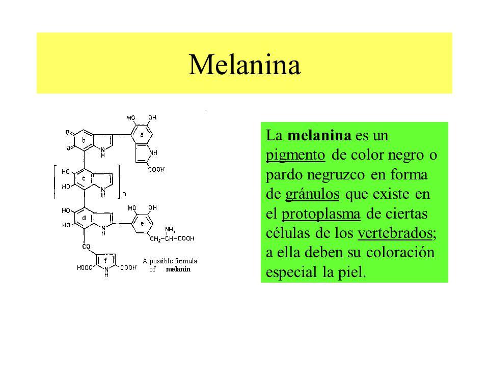 Melanina La melanina es un pigmento de color negro o pardo negruzco en forma de gránulos que existe en el protoplasma de ciertas células de los vertebrados; a ella deben su coloración especial la piel.