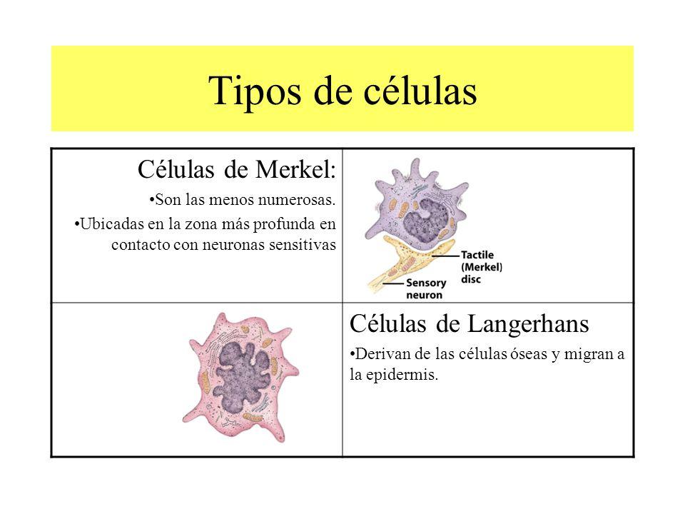 Tipos de células Células de Merkel: Son las menos numerosas.