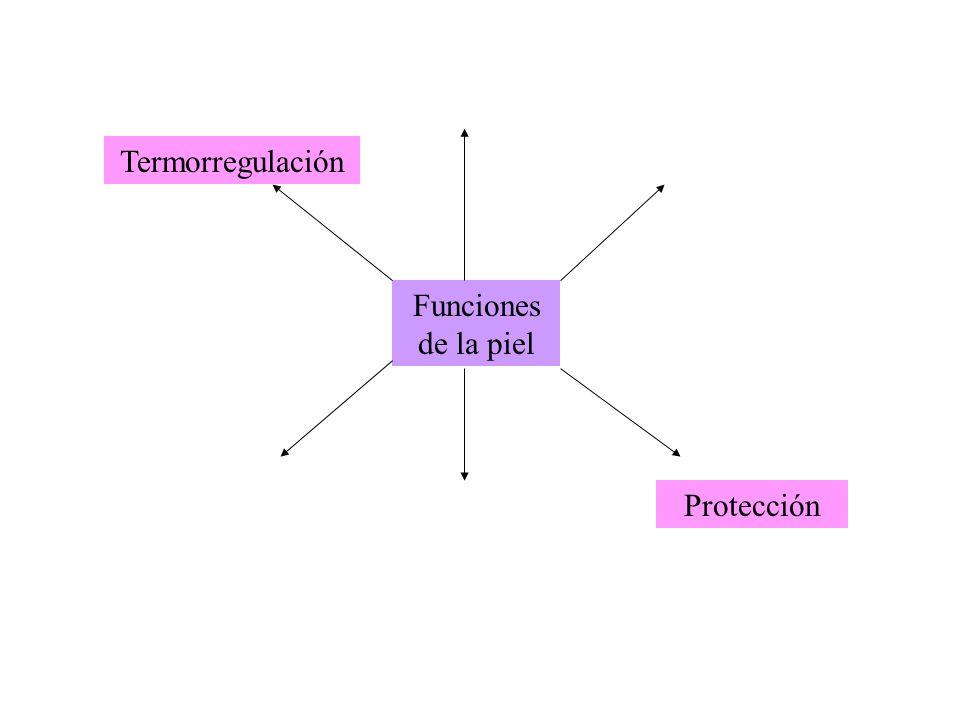 Funciones de la piel Termorregulación Protección