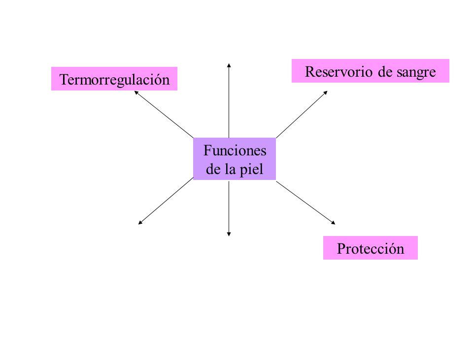 Funciones de la piel Termorregulación Reservorio de sangre Protección