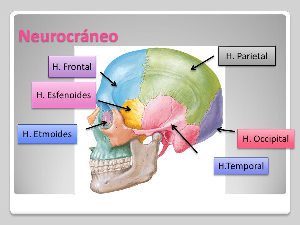 Neurocráneo - Anatomía del S. N. Y O. de los S.