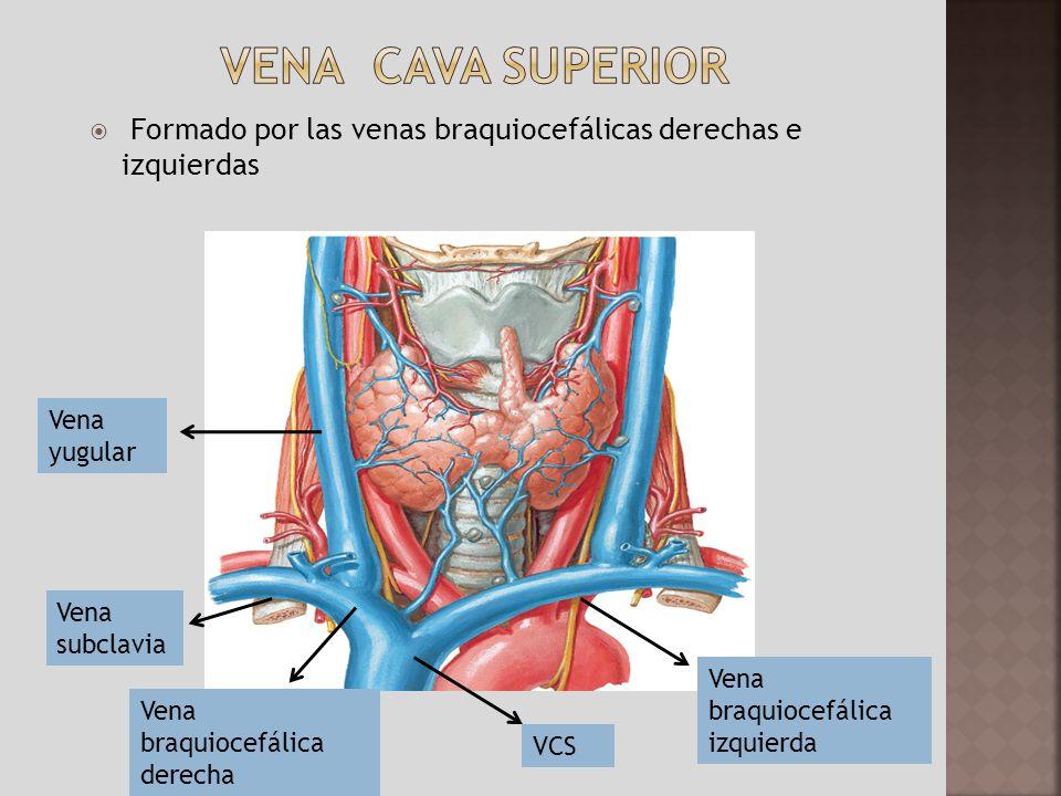 Moderno Vena Subclavia Izquierda Anatomía Festooning - Anatomía de ...