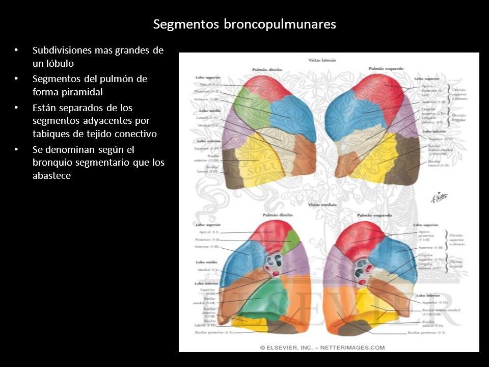 Moderno Anatomía Pulmonar Segmentaria Fotos - Imágenes de Anatomía ...