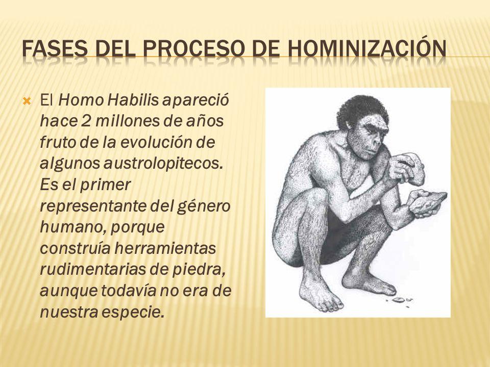  El Homo Habilis apareció hace 2 millones de años fruto de la evolución de algunos austrolopitecos.