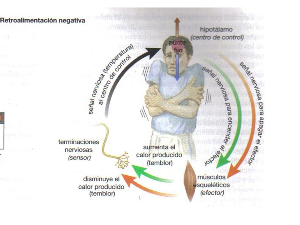 Liberación de ADH Depende de la cantidad de solutos presentes en la sangre (alta concentración) y de la presión sanguínea (disminución).