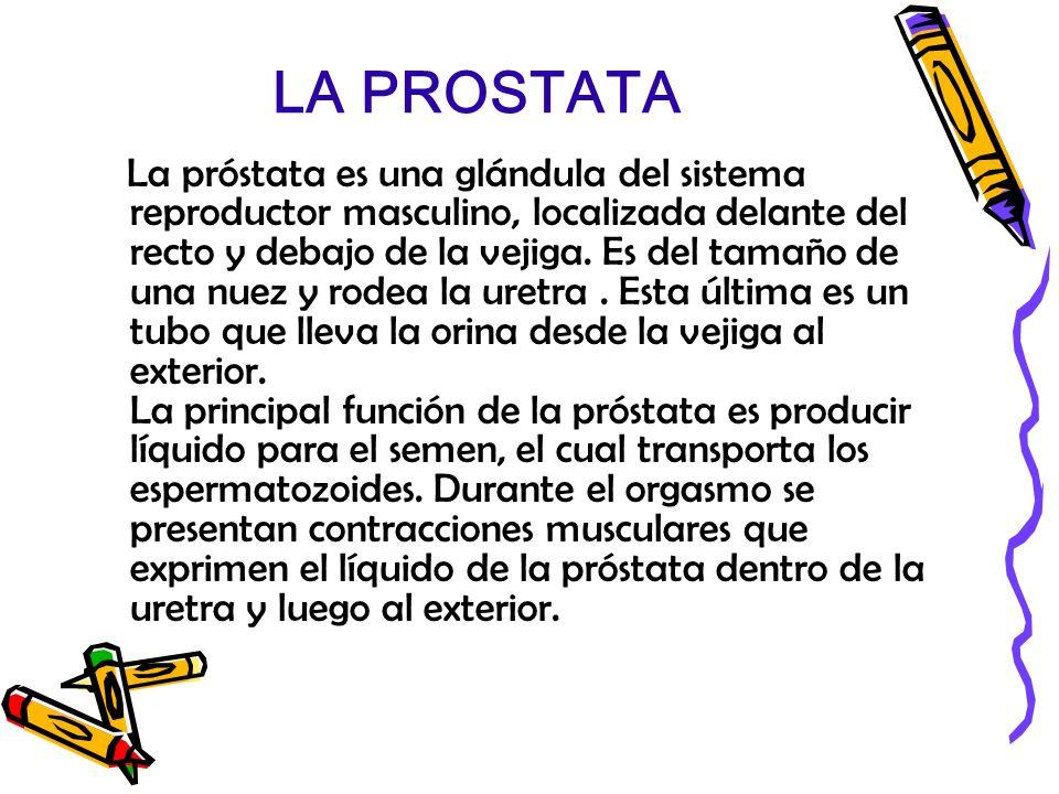 LA PROSTATA La próstata es una glándula del sistema reproductor masculino, localizada delante del recto y debajo de la vejiga. Es del tamaño de una nu