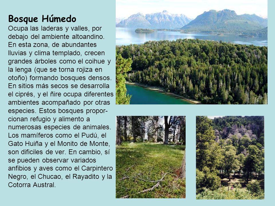 15 Bosque Húmedo Ocupa las laderas y valles, por debajo del ambiente altoandino. En esta zona, de abundantes lluvias y clima templado, crecen grandes