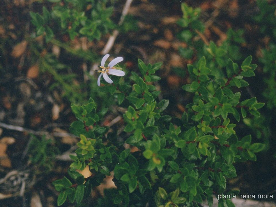 17 planta: reina mora