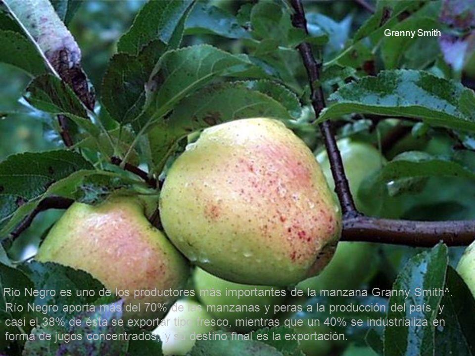 2 Rio Negro es uno de los productores más importantes de la manzana Granny Smith^. Río Negro aporta más del 70% de las manzanas y peras a la producció