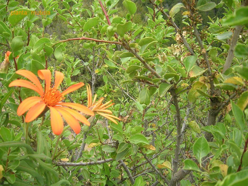 20 planta: muticia