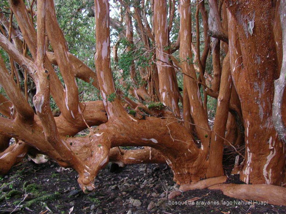 29 bosque de arayanes, lago Nahuel Huapi