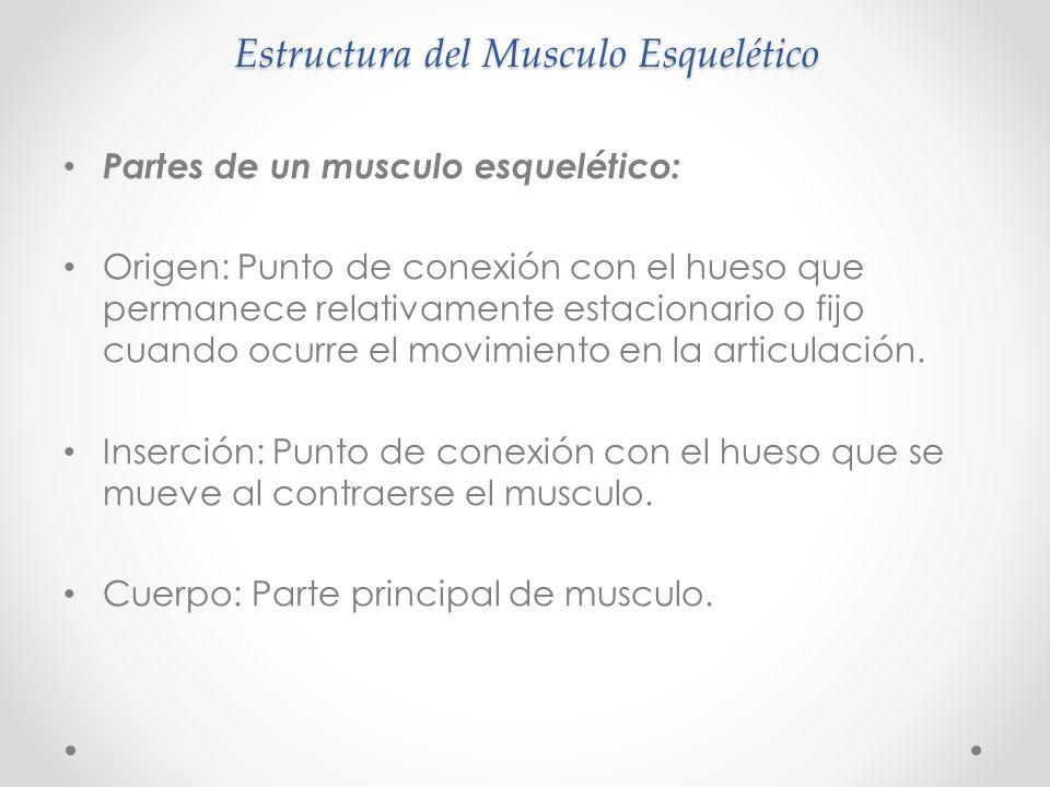 Estructura del Musculo Esquelético Partes de un musculo esquelético: Origen: Punto de conexión con el hueso que permanece relativamente estacionario o fijo cuando ocurre el movimiento en la articulación.