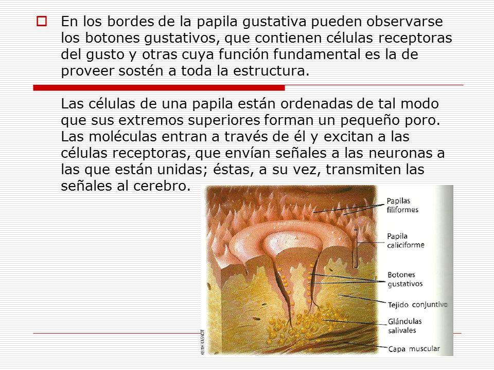 Hay cuatro tipos de papilas gustativas en la lengua: -las fungiformes son abundantes en la punta.