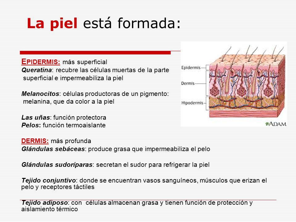 Hipodermis Es el compartimento más profundo de la piel y está compuesta de tejidos adiposos (formados por adipocitos).