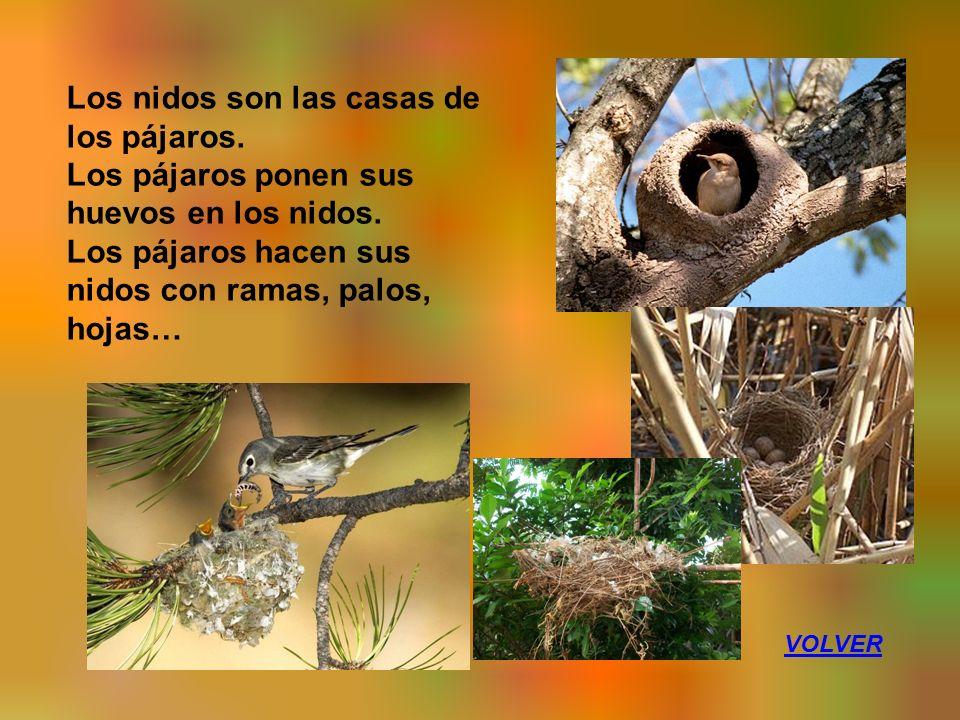 Los nidos son las casas de los pájaros. Los pájaros ponen sus huevos en los nidos.