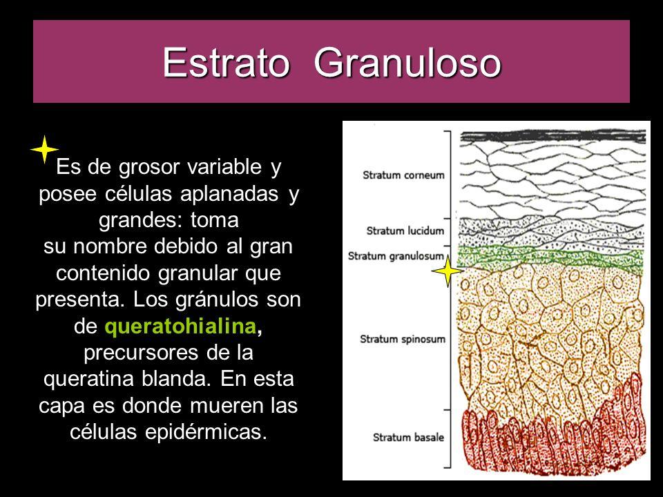Estrato Granuloso Es de grosor variable y posee células aplanadas y grandes: toma su nombre debido al gran contenido granular que presenta. Los gránul