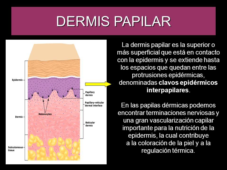 DERMIS PAPILAR La dermis papilar es la superior o más superficial que está en contacto con la epidermis y se extiende hasta los espacios que quedan en