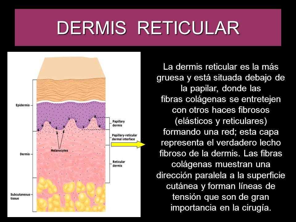 DERMIS RETICULAR La dermis reticular es la más gruesa y está situada debajo de la papilar, donde las fibras colágenas se entretejen con otros haces fi