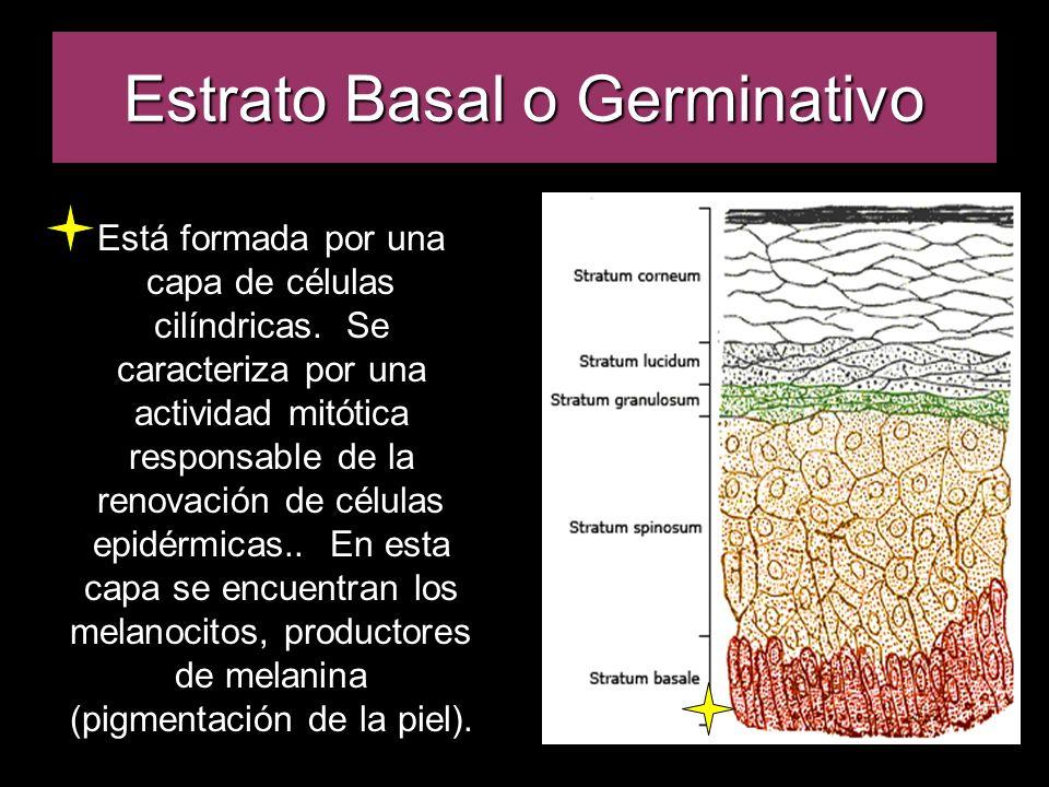 Estrato Basal o Germinativo Está formada por una capa de células cilíndricas. Se caracteriza por una actividad mitótica responsable de la renovación d