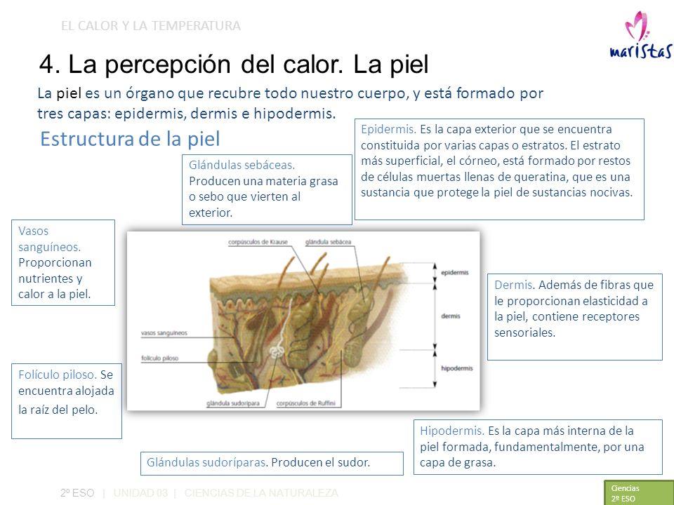 EL CALOR Y LA TEMPERATURA 4. La percepción del calor. La piel Hipodermis. Es la capa más interna de la piel formada, fundamentalmente, por una capa de